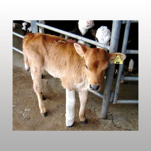 Mat riel v t rinaire attelle pour veau contention rurale coveto - Materiel pour insonoriser une piece ...